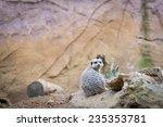 meerkats in chester zoo  engand ...   Shutterstock . vector #235353781
