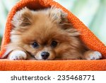 Cute And Funny Puppy Pomerania...