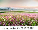 Beautiful Cosmos Flower In Park