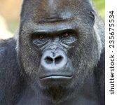 closeup portrait of a gorilla... | Shutterstock . vector #235675534