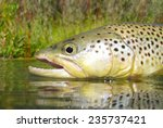 fly fishing for brown trout | Shutterstock . vector #235737421