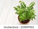Curry Leaf  Curry Tree