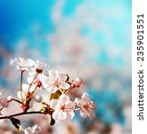 Stock photo blossom tree over nature background spring flowers spring background 235901551