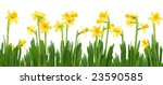 yellow daffodils isolated on...   Shutterstock . vector #23590585