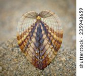 Small photo of Symmetry of sea shell on the beach - Rough cockle (Acanthocardia tuberculata)