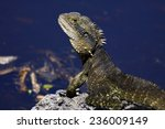 Iguana In Byron Bay  Australia...