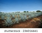 agave tequila landscape to... | Shutterstock . vector #236016661