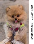 Small photo of Puppy Pomeranian garb