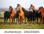 Thoroughbred Horses Grazing In...