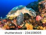 Hawksbill Sea Turtle Feeding O...
