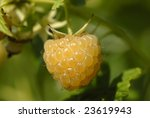 Closeup Of Golden Raspberry