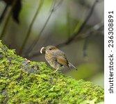 flycatcher bird  snowy browed... | Shutterstock . vector #236308891