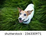 Jack Russell Terrier Playing...