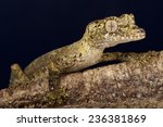 Small photo of Guenther's leaf-tailed gecko / Uroplatus guentheri