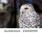 Snowy Owl Yellow Eyes In The...