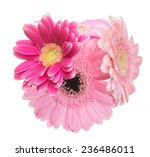 bouquet of transvaal daisy | Shutterstock . vector #236486011