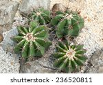 Small photo of Echinocactus Visnaga, thermal plants, cactus