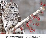 Barred Owl Perched In A Birch...