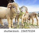 Merino Sheep Eating Ruzi Grass...