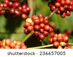 ������, ������: Coffee tree with coffee