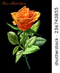 illustration with colored rose... | Shutterstock .eps vector #236743855