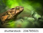 Small photo of toad in the Amazon rain forest. Small frog Rhinella typhonius in the tropical rain forest. Amphibian species lives in the rainforest of Peru Bolivia, Brazil Ecuador, Colombia