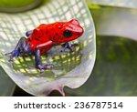 Strawberry poison arrow frog ...