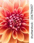 macro image of a garden dahlia... | Shutterstock . vector #236796007