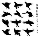 black grouse in flight... | Shutterstock .eps vector #236905759