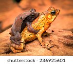 Small photo of mating tropical toads Rhinella typhonius a small amphibian of the tropical amazon rain forest of Brazil Peru, Bolivia, Ecuador