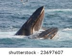 Humpback Whale Opens Its Mouth