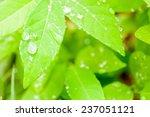 dew drop and green leaf... | Shutterstock . vector #237051121