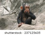 Little Chimpanzee  Pan...