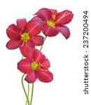 Flower Branch  Red Daylily...