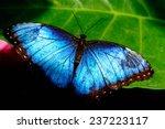 Blue Common Morpho Butterfly...
