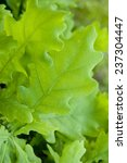 bright oak leaves | Shutterstock . vector #237304447