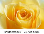 yellow rose closeup | Shutterstock . vector #237355201