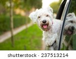 Stock photo maltese puppy looking out the car window 237513214