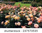 Stock photo the rose garden of palmerston north north island new zealand 237573535