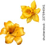 Yellow Lily. Daffodil Flower O...