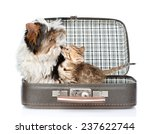 Stock photo bengal kitten sniffing biewer yorkshire terrier in open bag isolated on white background 237622744