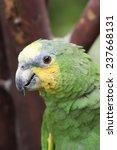 Small photo of Orange-Winged Amazon Parrot Portrait - Amazona amazonica