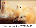 Rearing Small Chicks. Poultry...
