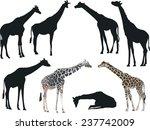 Illustration With Giraffes...