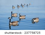 Ducks Swimming In Formation In...
