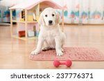 Golden Retriever Puppy Playing...