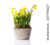 Pot Of Daffodils On Isolated...