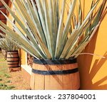 ������, ������: Agave americana tequila