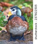 Small photo of African Pygmy Goose (Nettapus auritus)