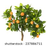 Tangerine Tree Isolated On The...